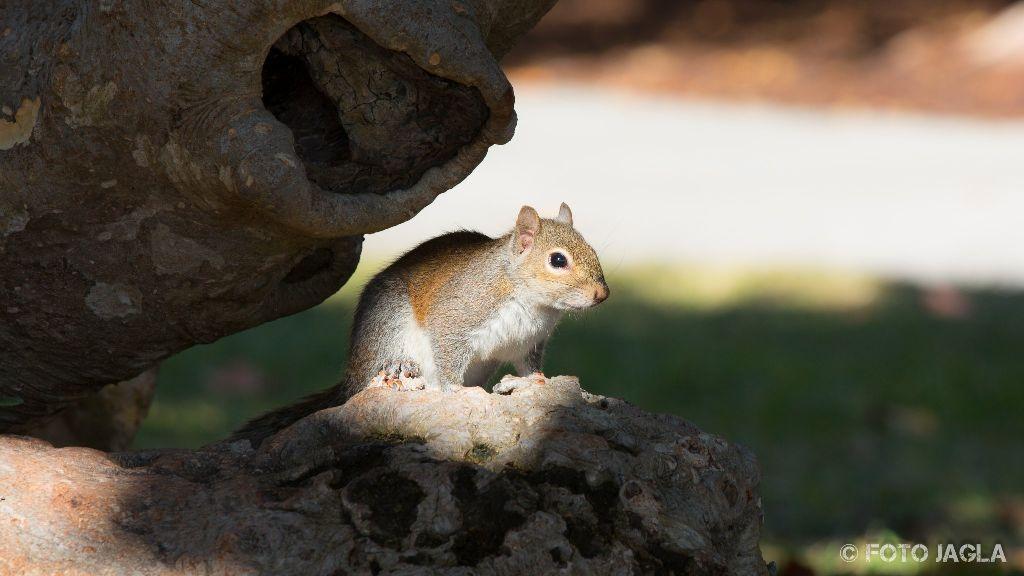 New York Eichhörnchen im Central Park Januar 2017
