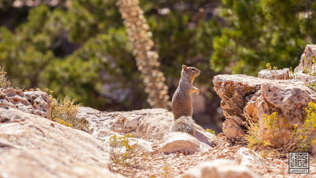 Cute squirrel at the Mohave Point in Grand Canyon Village