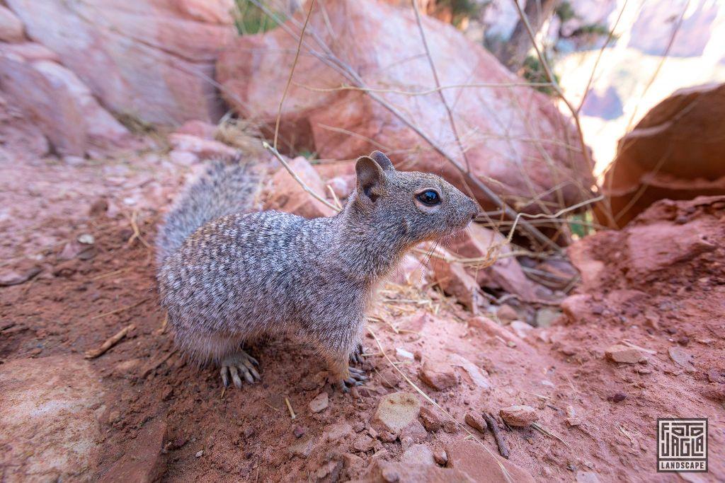 Squirrel at the South Kaibab Trailhead in Grand Canyon Village Arizona, USA 2019