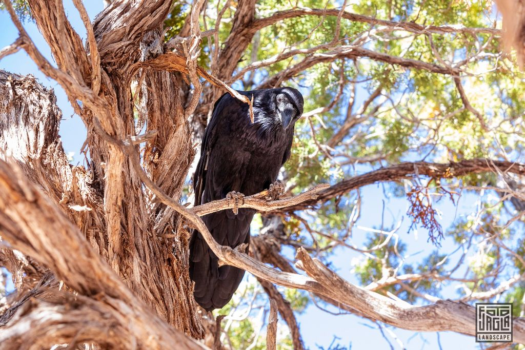 Crow sitting on a dead tree long the Desert View Drive in Grand Canyon Village Arizona, USA 2019