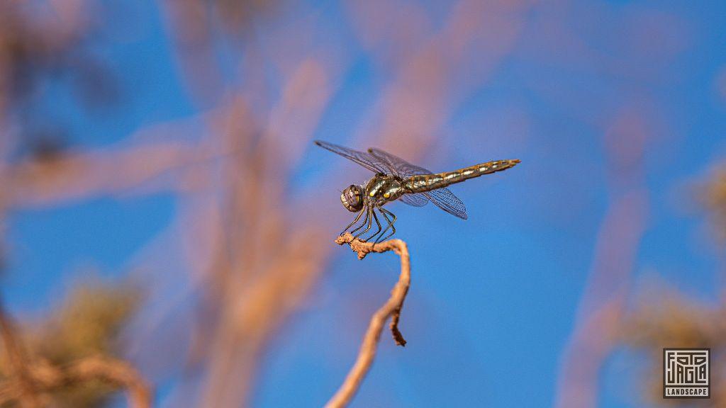 Dragonfly Arizona, USA 2019