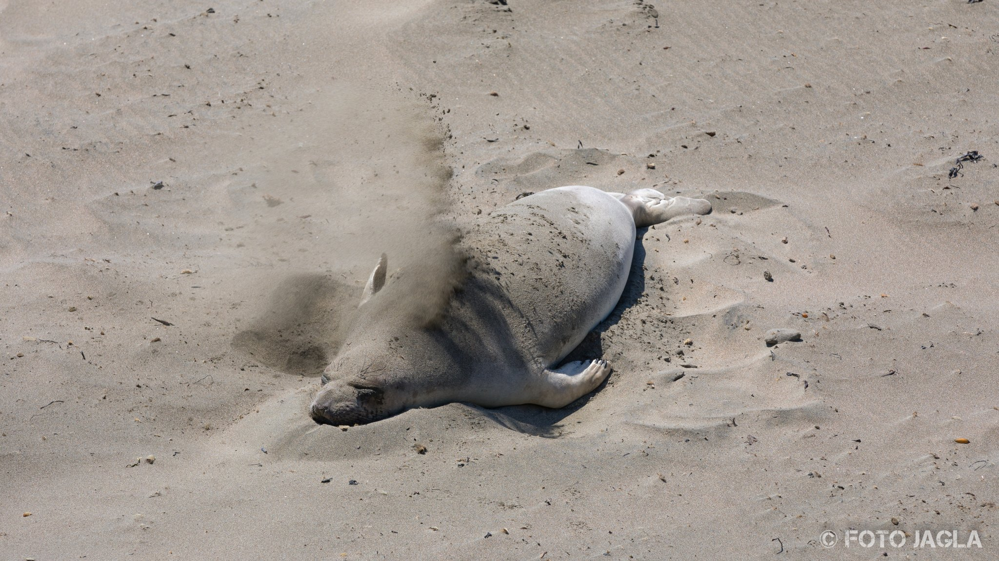 Kalifornien - September 2018 See-Elefanten (die größten Robben der Welt) an der kalifornischen Westküste Highway 1 - Elephant Seal Vista Point