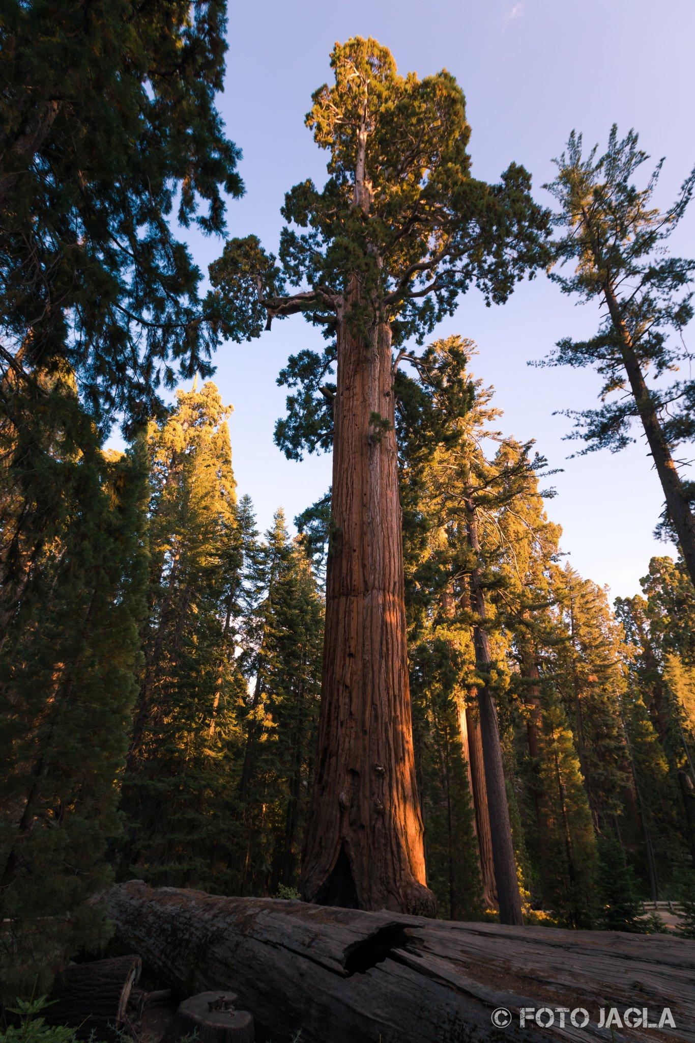 Kalifornien - September 2018 The General Grant Tree Grant Grove - Kings Canyon National Park