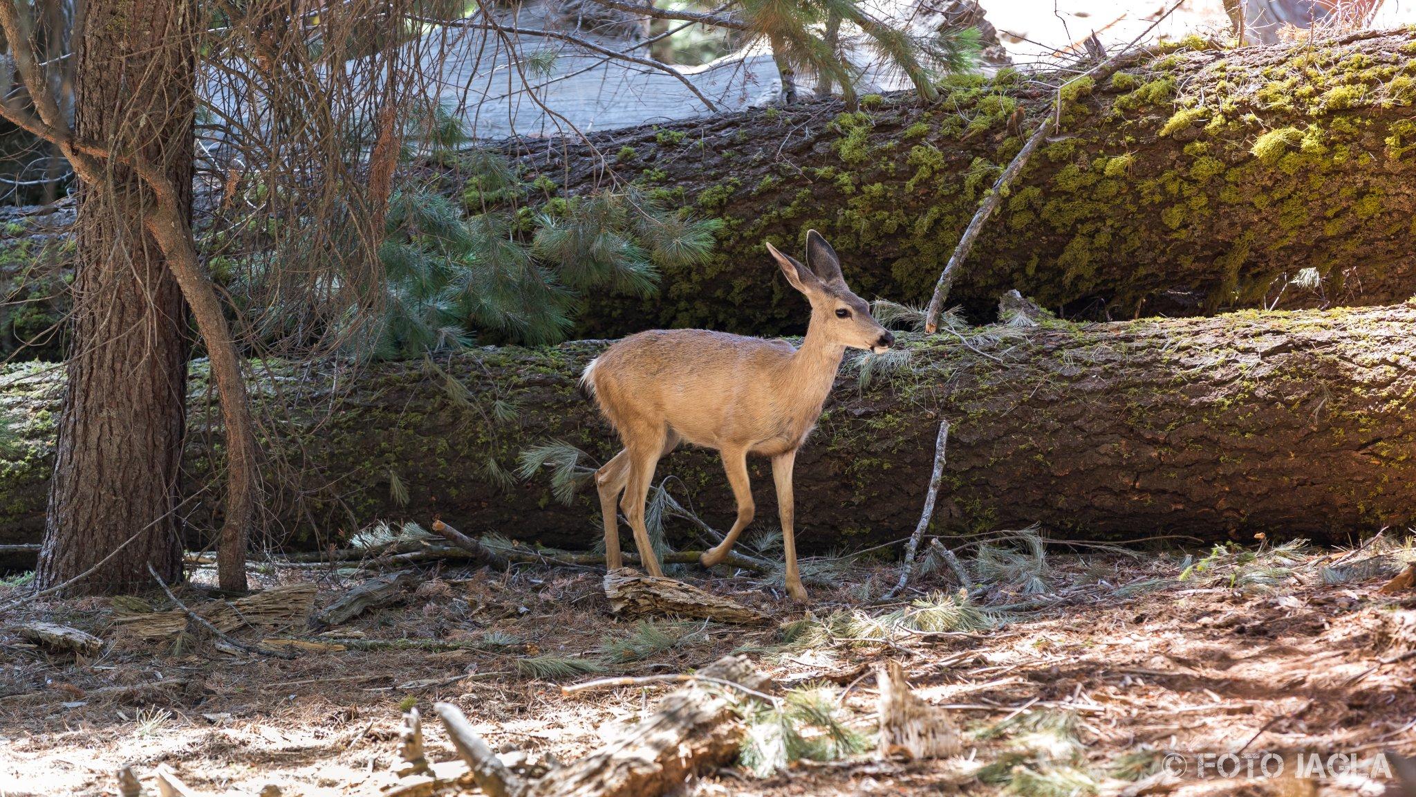 Kalifornien - September 2018 Rehkitz am General Sherman Tree Sequoia National Park - Tulare Country