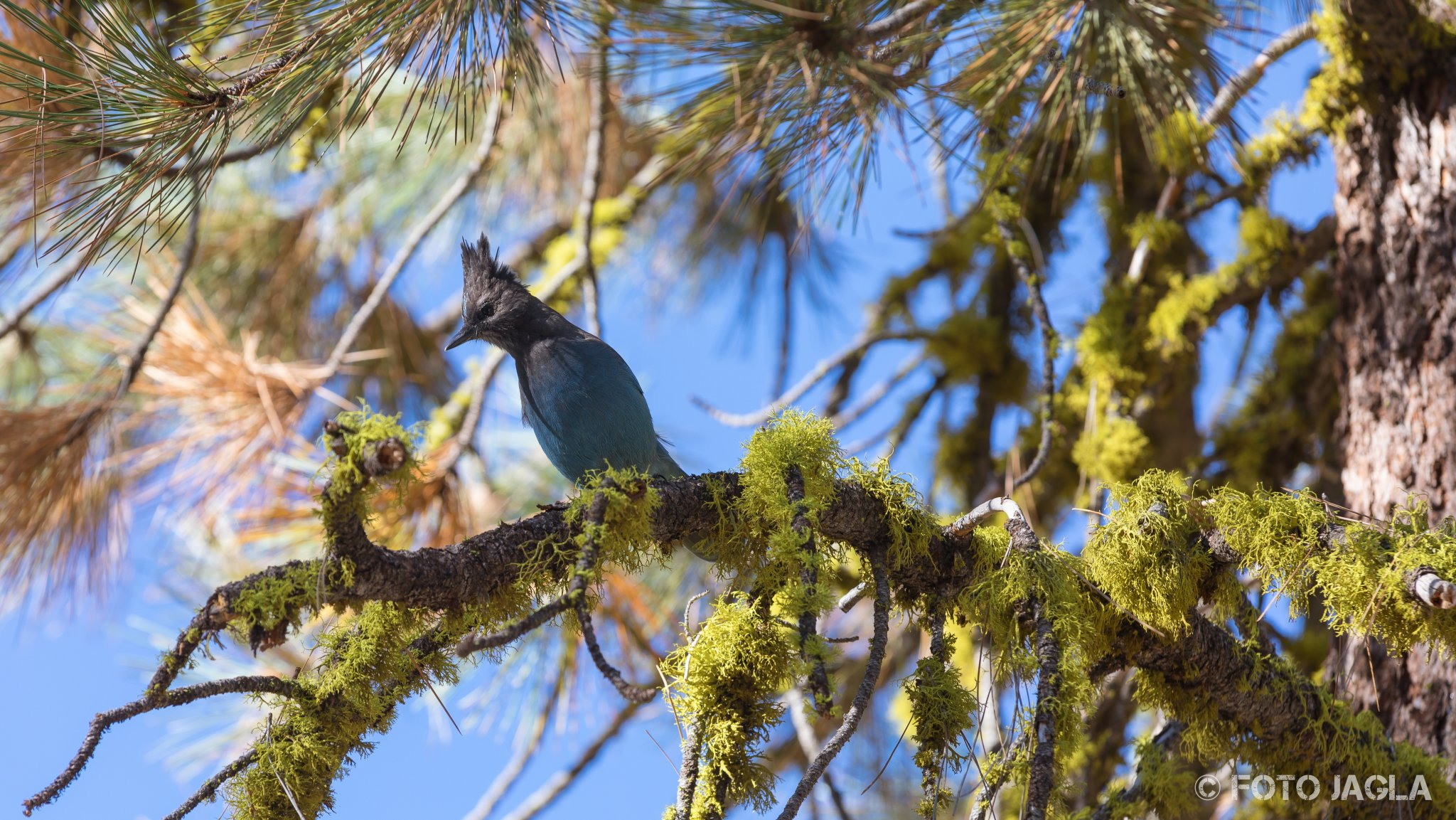 Kalifornien - September 2018 Singvogel Diademhäher Sequoia National Park - Three Rivers