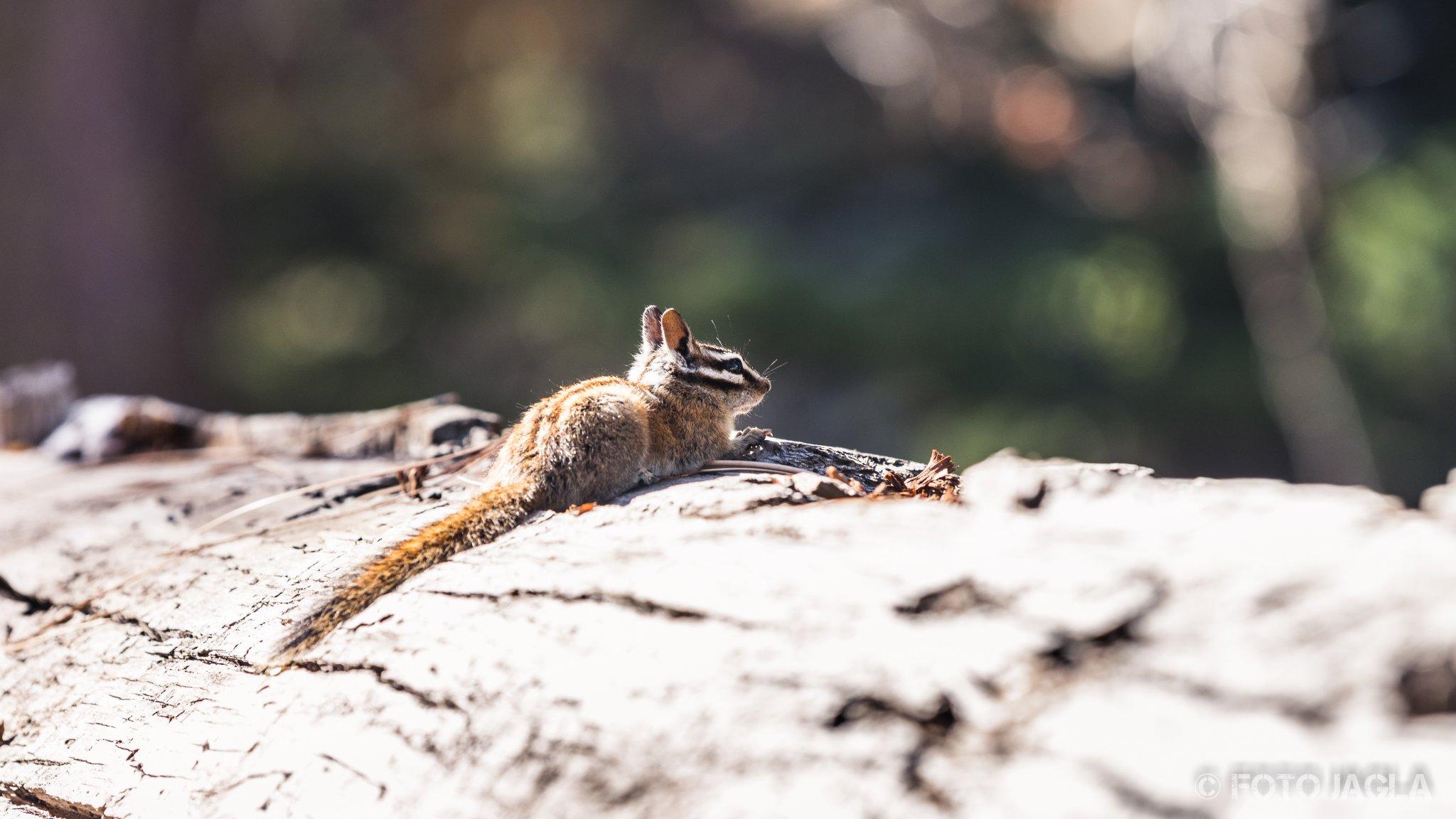 Kalifornien - September 2018 Streifenhörnchen Sequoia National Park - Lodgepole Campground