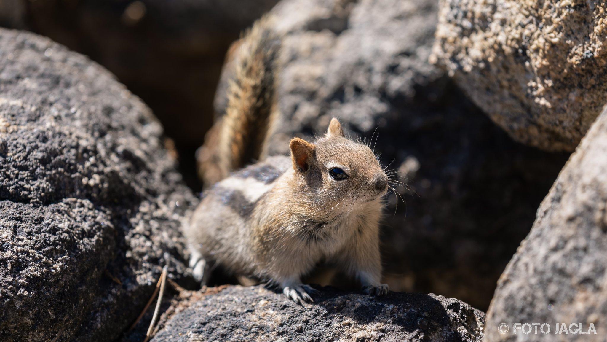 Kalifornien - September 2018 Streifenhörnchen (Chipmunk) am Tenaya Lake Yosemite National Park - Wawona