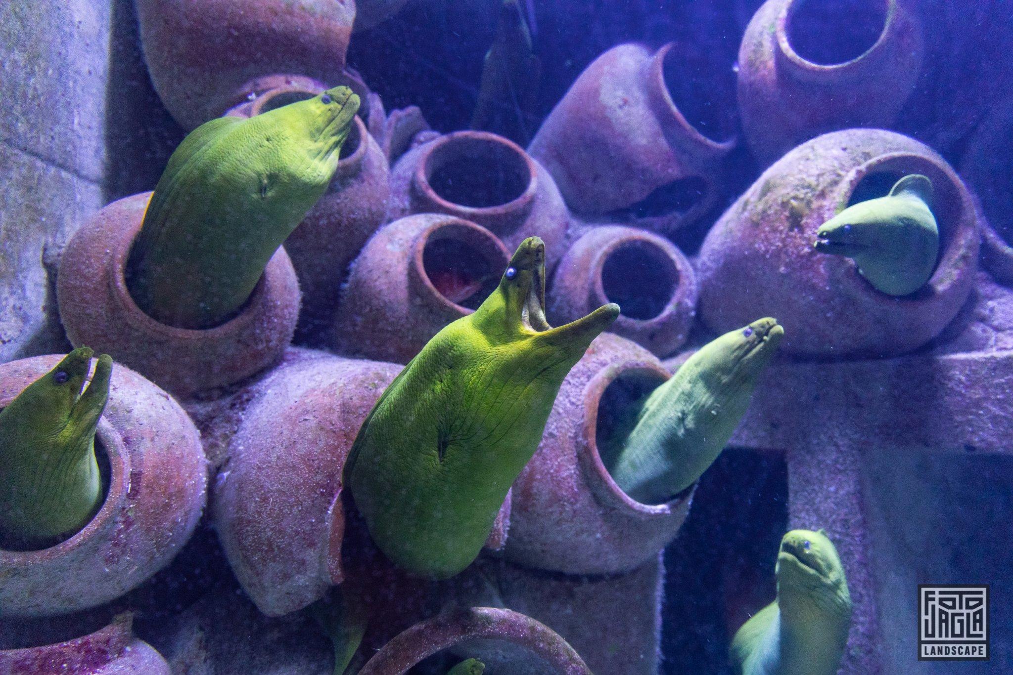 Aquarium im Atlantis Paradise Island Resort Gelber Wolfsaal oder Muräne? Keine Ahnung, jedenfalls hässlich! Bahamas, Paradise Island