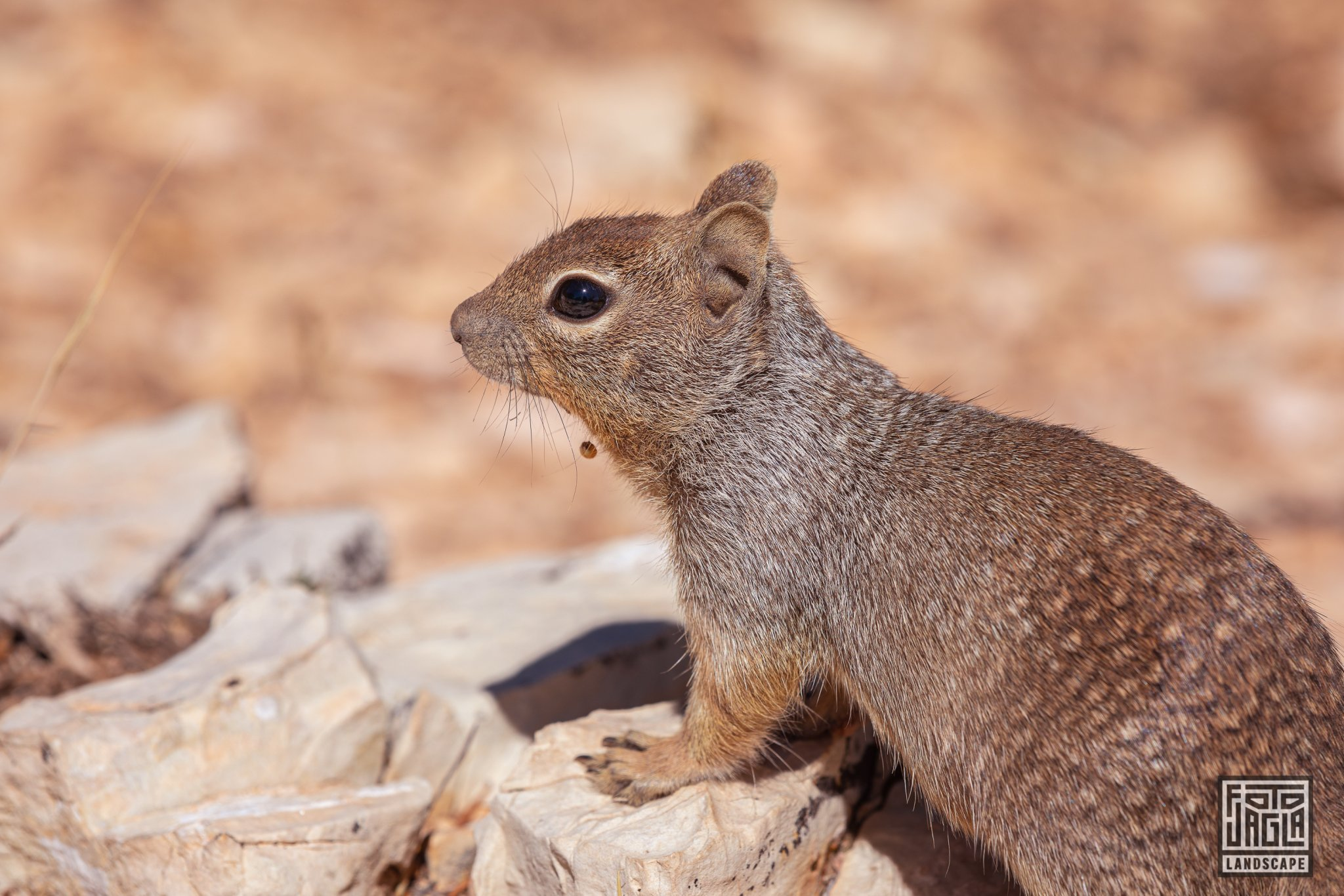 Little squirrel at the Mohave Point in Grand Canyon Village