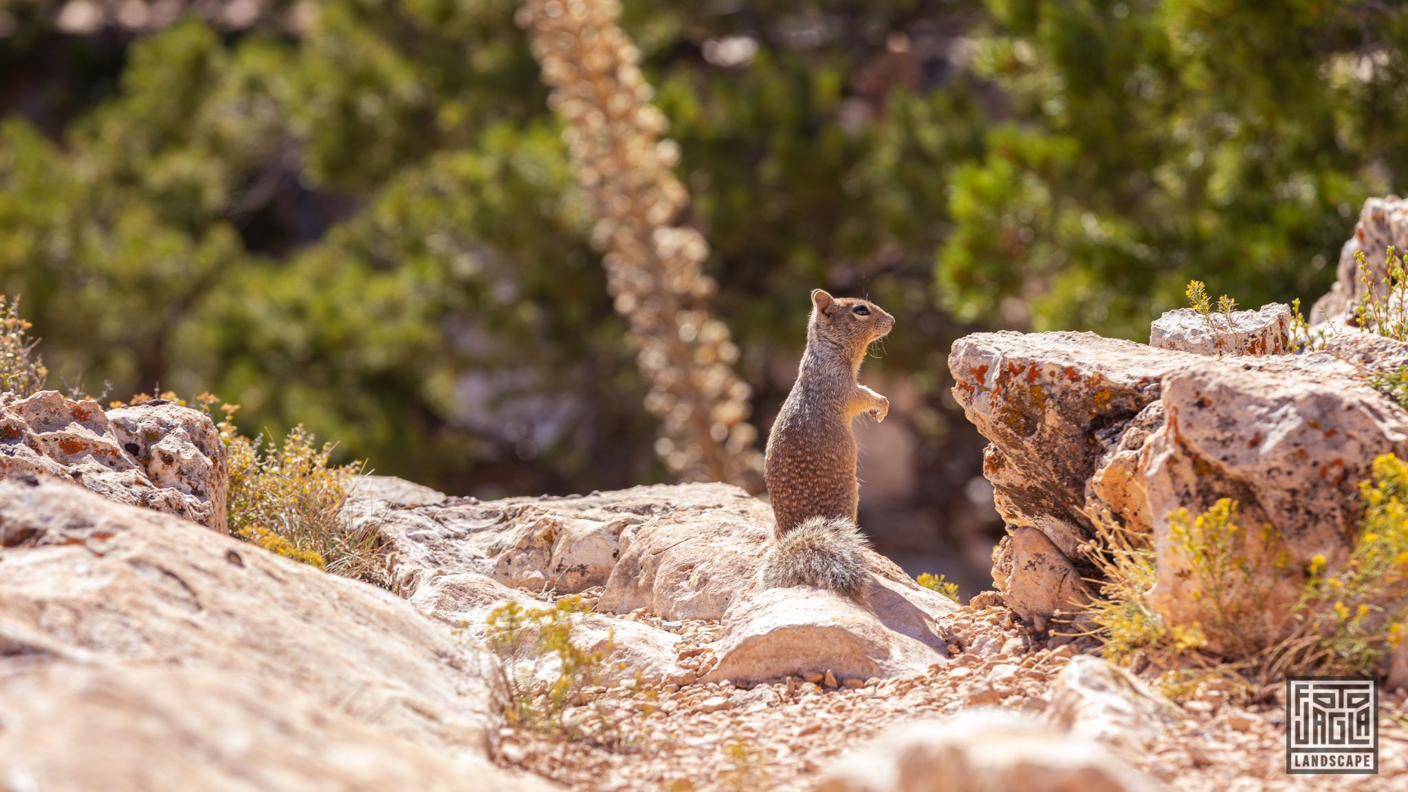 Cute squirrel at the Mohave Point in Grand Canyon Village Arizona, USA 2019