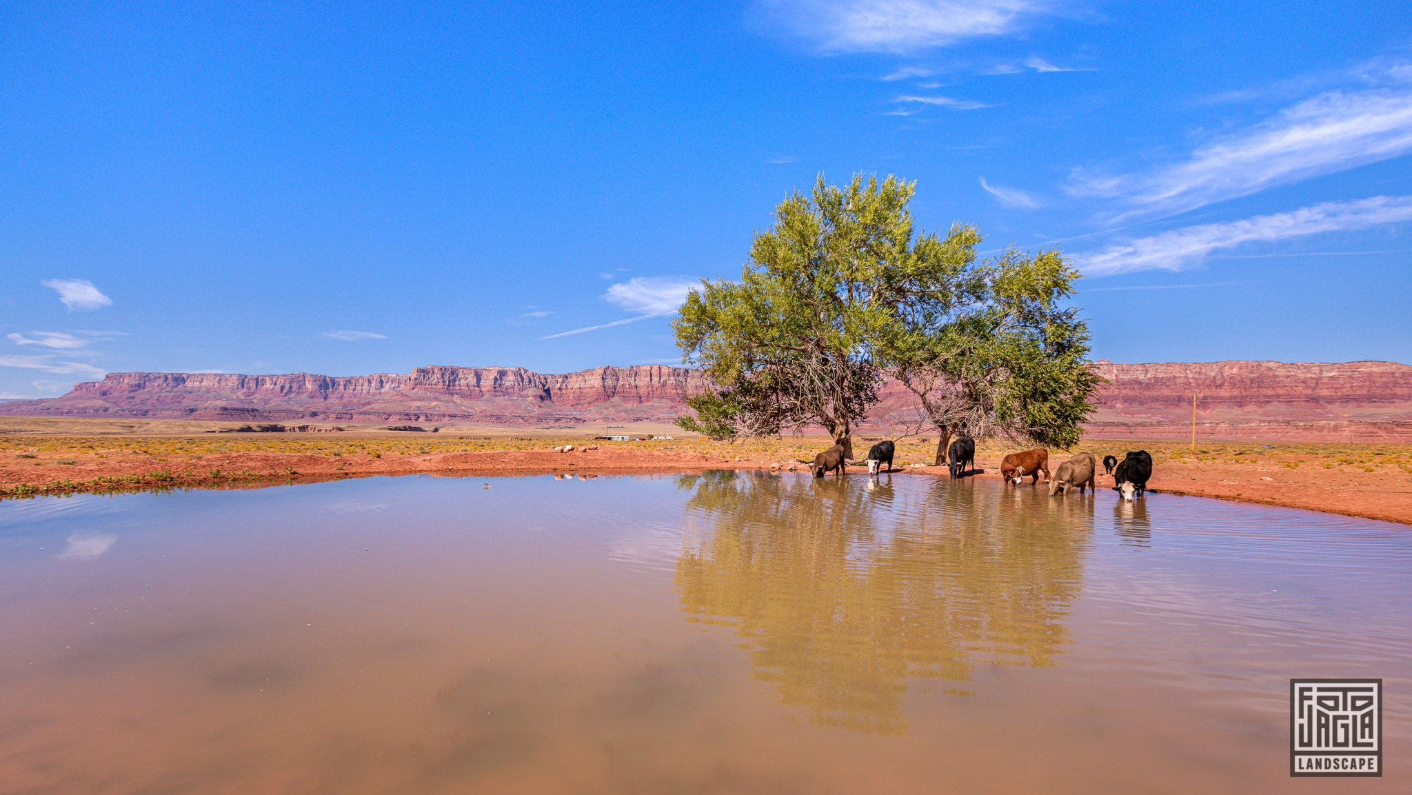 Cows drinking in Marble Canyon Arizona, USA 2019
