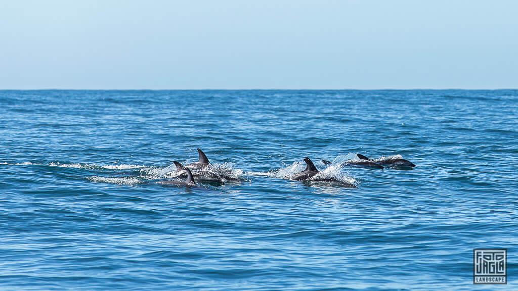 Delefin Tour in Kaikoura in Neuseeland - Dusky Dolphins jumping