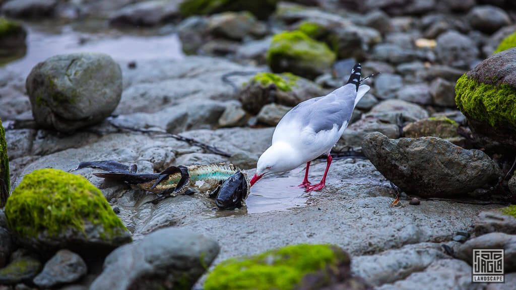 Kaikoura Penguin Walkway - Vogel isst Fisch am Strand von Neuseeland