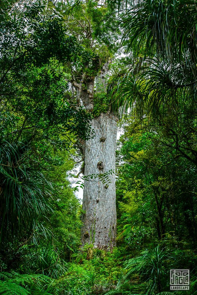 Neuseelands weltgrösster Kauri Baum Tane Mahuta - Der Lord des Waldes