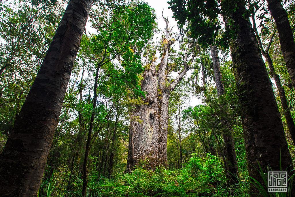 Neuseelands Kauri Baum Te Matua Ngharere - Der Vater des Waldes