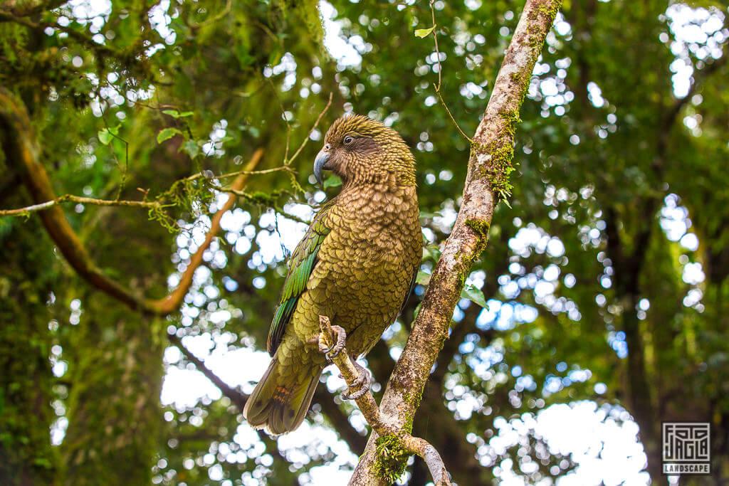Kea (Bergpapagei) - Die frechen Vögel Neuseelands