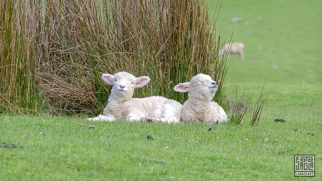 Lämmer auf Neuseelands Weiden und Wiesen