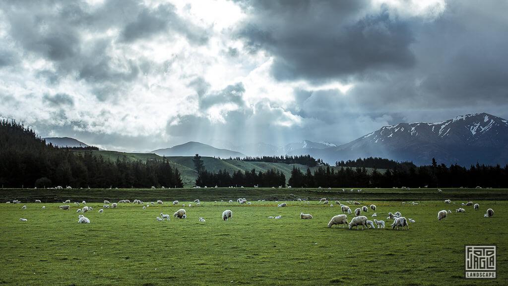 Eine Schafweide voller Schafe und Lämmer Nähe Te Anau in Neuseeland
