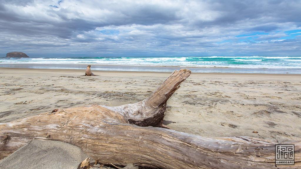 Seehunde am Allans Beach in Dunedin Neuseeland