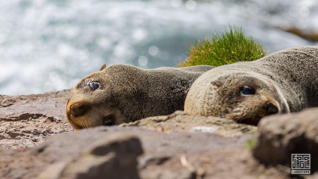 Seehunde am Penguins Place in Dunedin Neuseeland