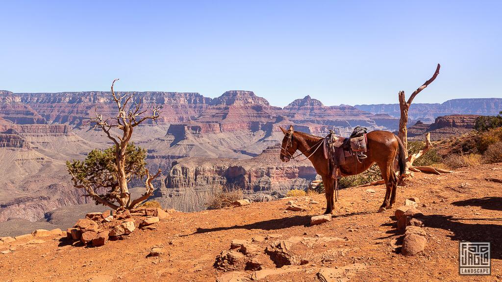 Indianer Pferd am Cidar Ridge auf dem South Kaibab Trailhead im Grand Canyon Nationalpark in Arizona