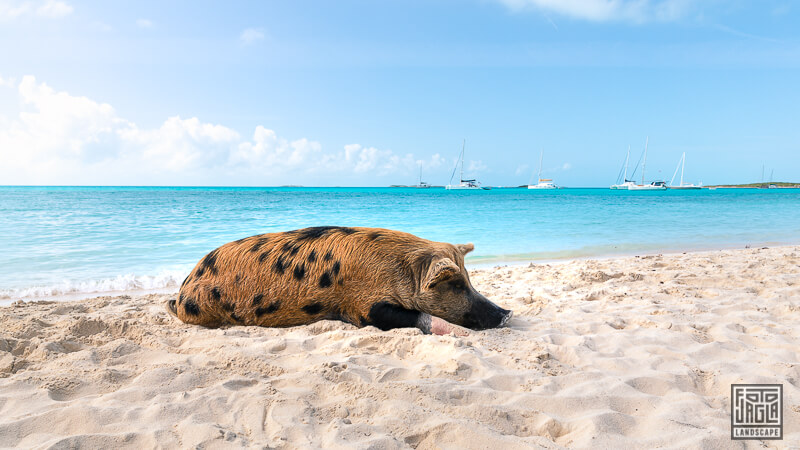 Schwimmende Schweine im Wasser - Exuma, Bahamas