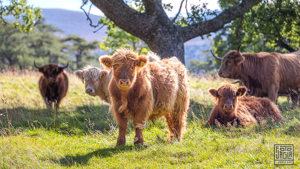 Schottisches Hochlandrind Kyloe - Scottish Highland Cattle (Cow)