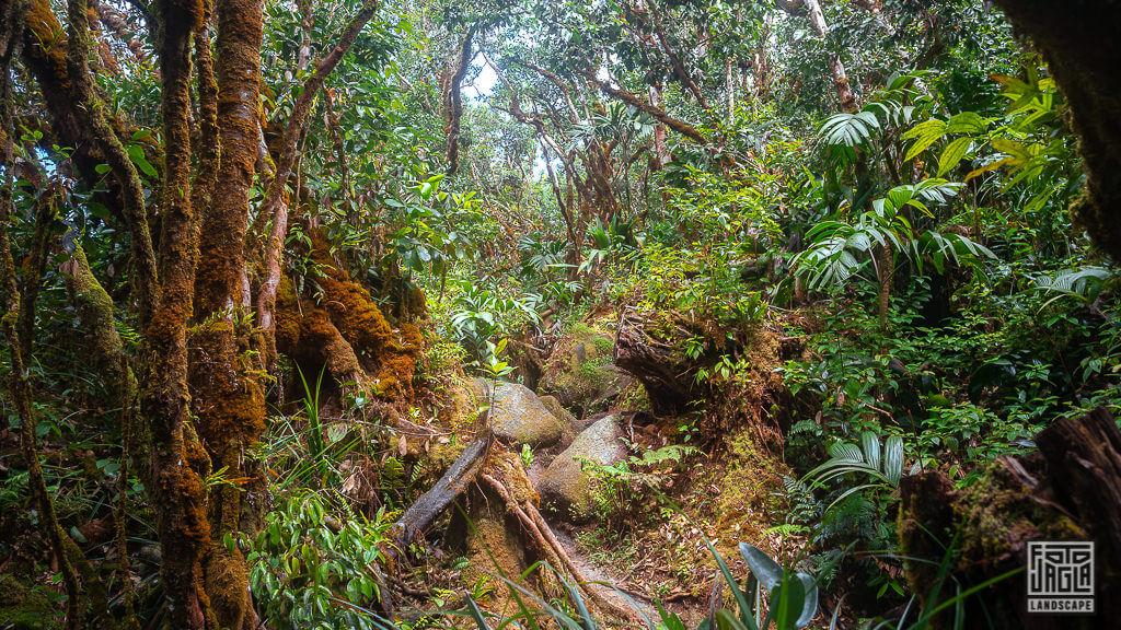 Der Morne Blanc Trail führt durch den Dschungel im Morne Seychelles National Park auf Mahe, Seychellen