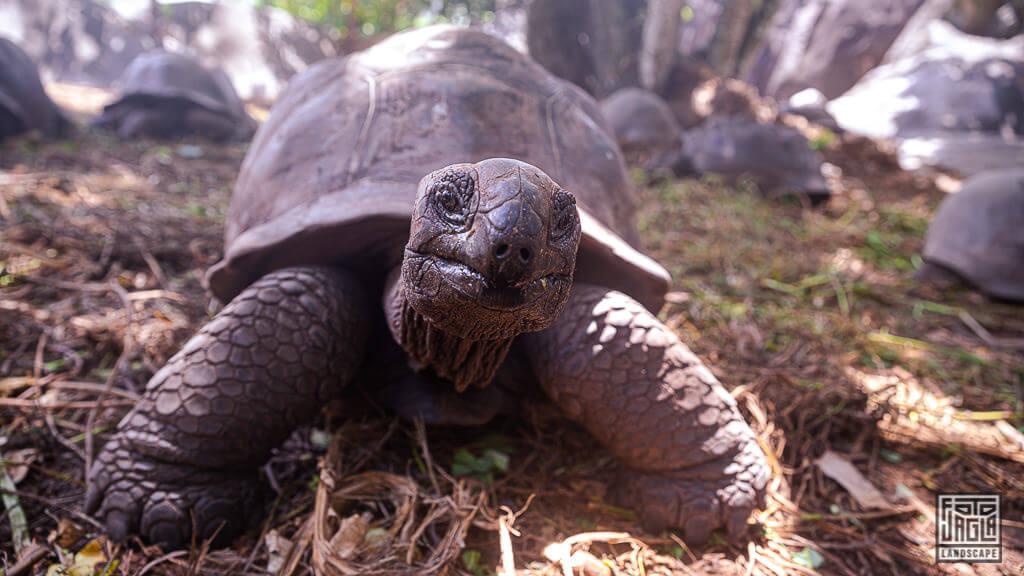 Riesenschildkröten - Große Landschildkröten auf den Seychellen auf La Digue
