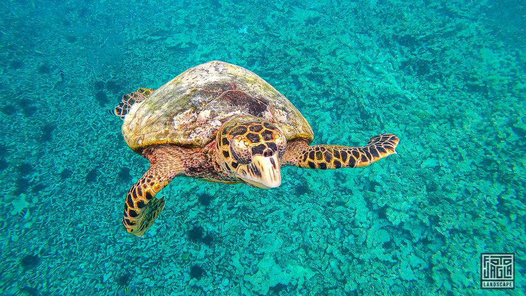 Riesige Unterwasser-Schildkröten auf La Digue, Seychellen